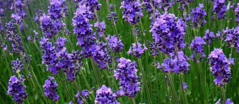 lavender compound