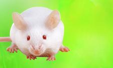 BALB/c mice