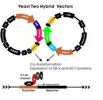 Yeast two-hybrid model