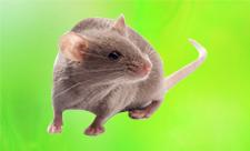 DBA/2 mice